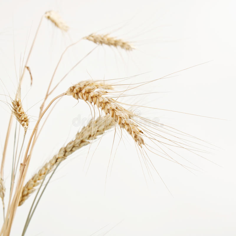Image de blé d'isolement au-dessus du fond blanc image libre de droits