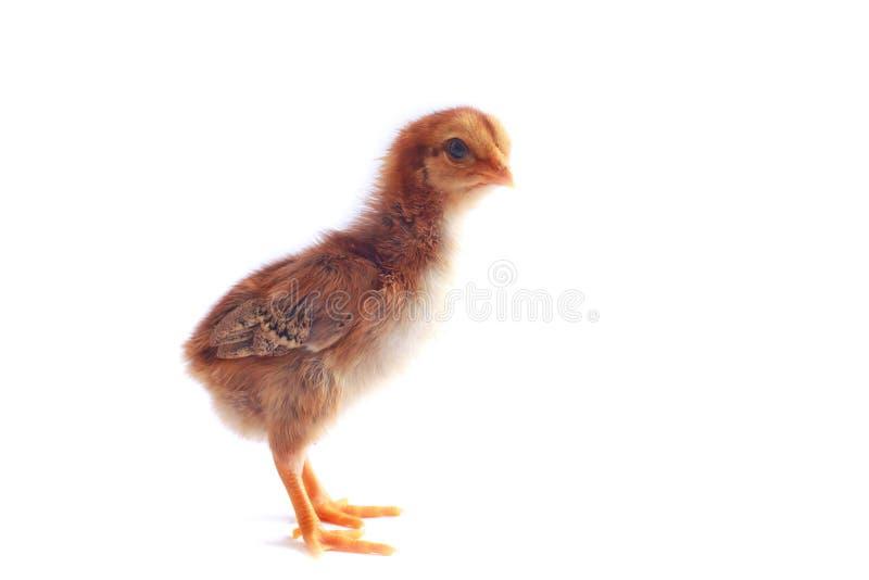 Download Image De Bouillon De Poulet De Bébé Photo stock - Image du jaune, oiseau: 45368582