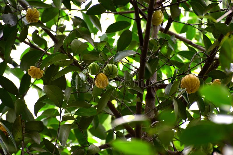 Image de cambodgia développée dans un arbre de cambodgia images stock