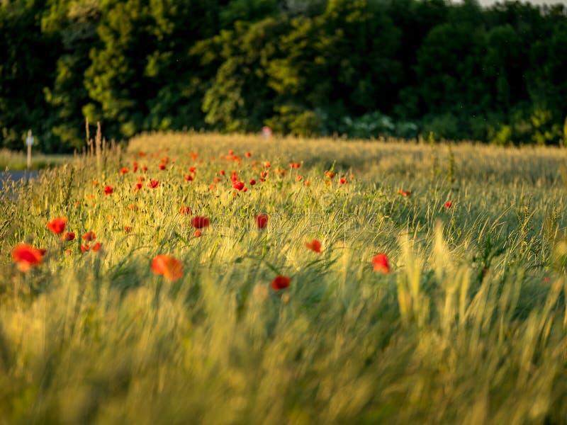 Image de champ énorme de pavot pendant le coucher du soleil photo stock