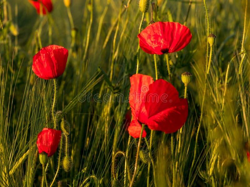 Image de champ énorme de pavot pendant le coucher du soleil images libres de droits