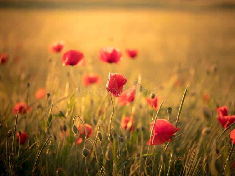 Image de champ énorme de pavot pendant le coucher du soleil photographie stock libre de droits