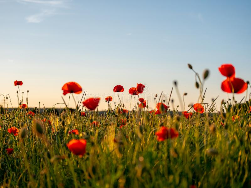 Image de champ énorme de pavot pendant le coucher du soleil photo libre de droits