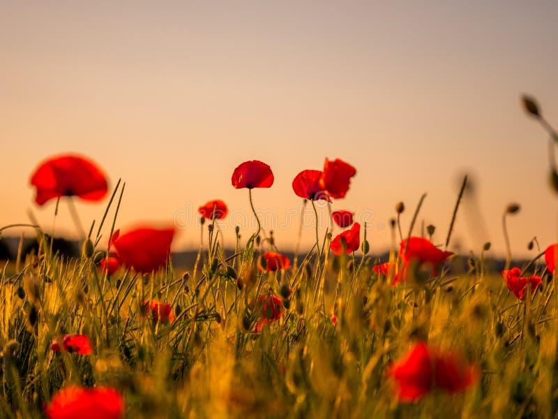 Image de champ énorme de pavot pendant le coucher du soleil photographie stock