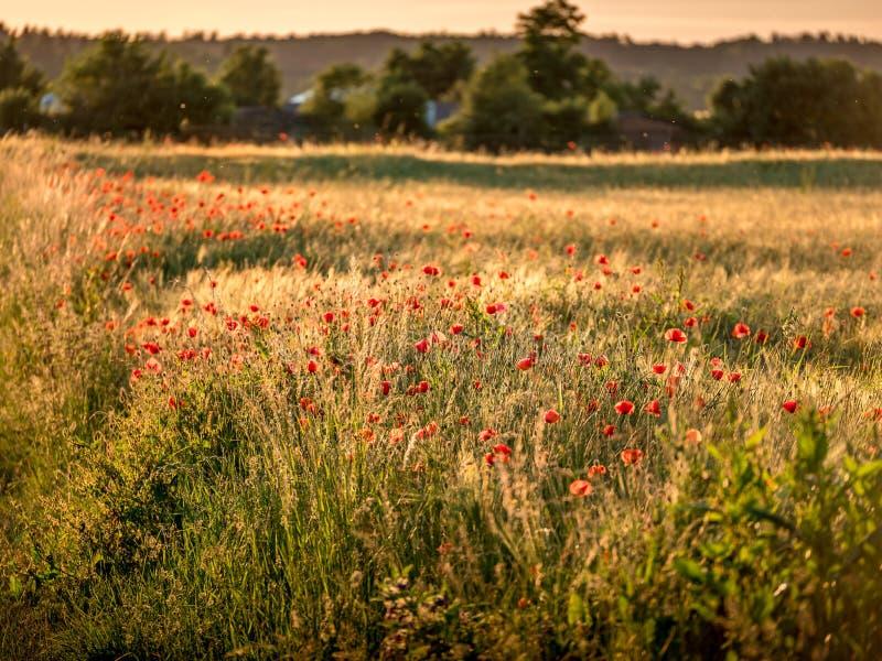 Image de champ énorme de pavot pendant le coucher du soleil images stock