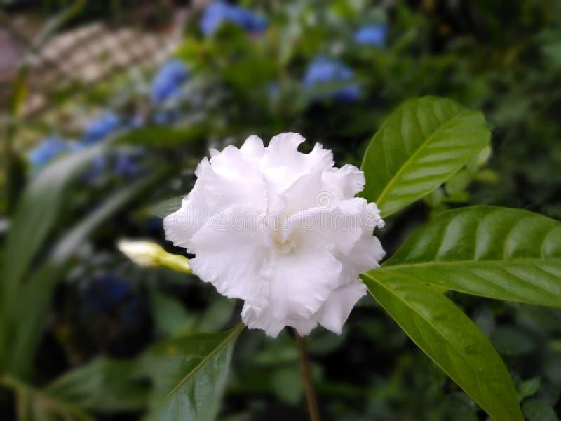Image de fleur de papier peint de fond de tache floue de fleur blanche images stock