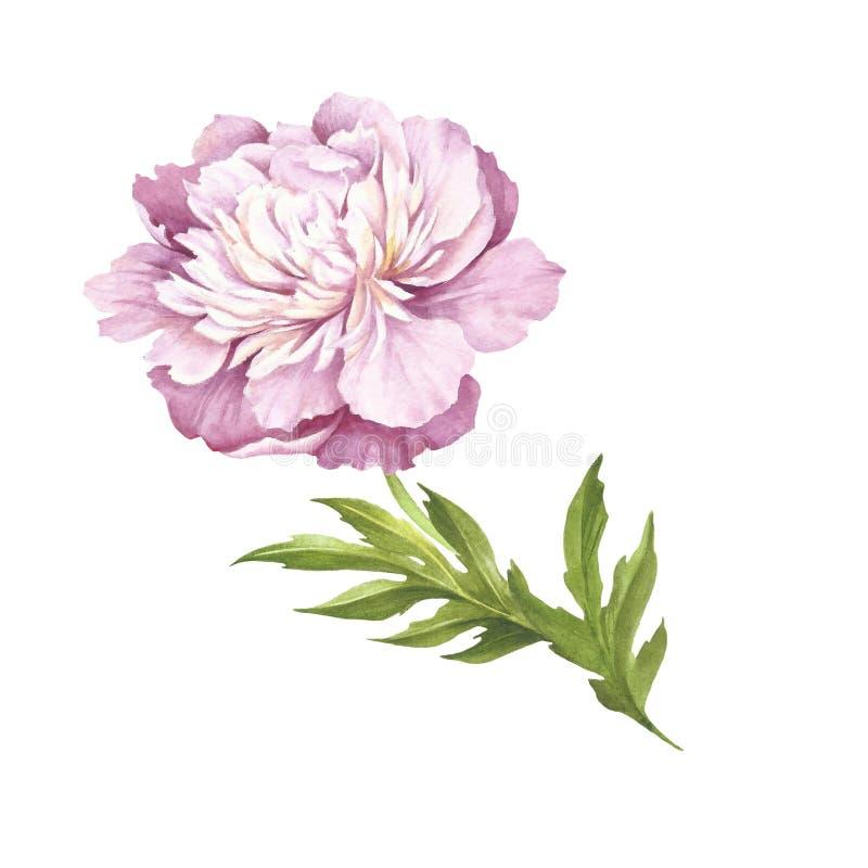 Image de fleur de pivoine Illustration d'aquarelle d'aspiration de main illustration stock