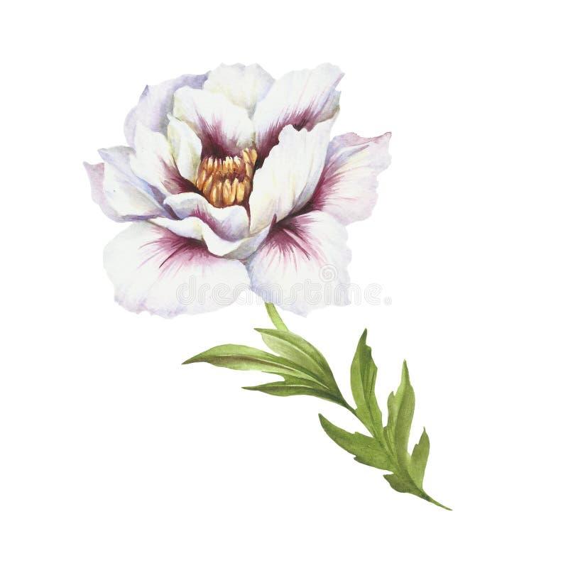 Image de fleur de pivoine Illustration d'aquarelle d'aspiration de main illustration libre de droits