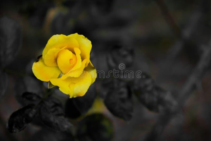 Image de fleur, image de Rose Flower, image de fleur de HD images stock