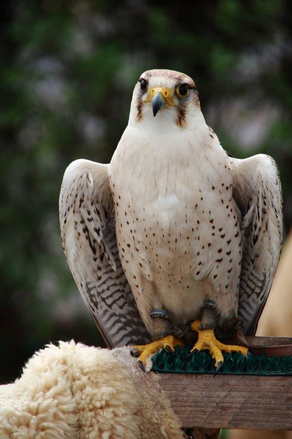 Image de l'oiseau de la proie photos libres de droits