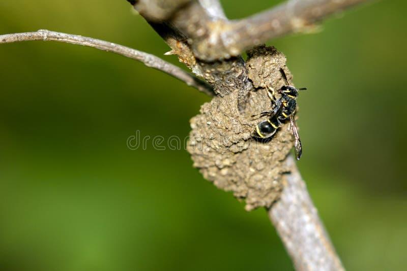 Image de la guêpe de potier femelle construisant son nid image libre de droits