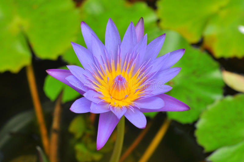 Image de Lotus photographie stock