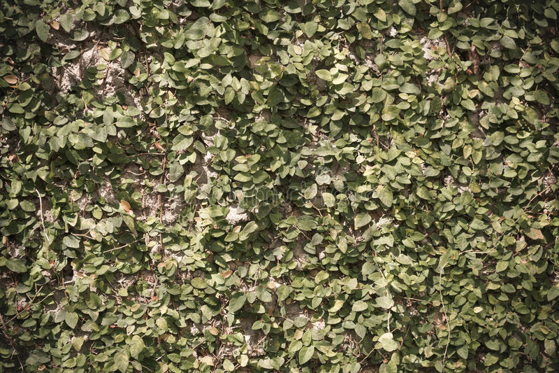 Download Image De Mur De Feuille Pour L'utilisation De Fond Photo stock - Image du jardin, lame: 76088736