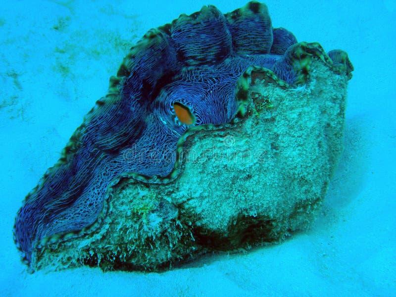 image de palourde géante sur la Grande barrière de corail Ausralia image stock