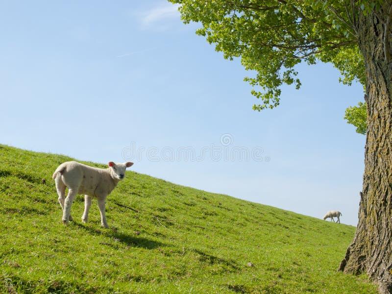 Image de ressort d'un jeune agneau photo stock