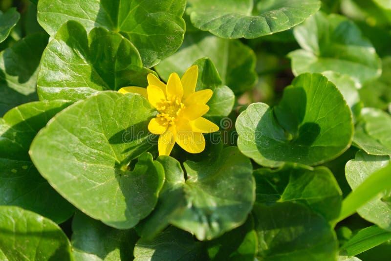 Image de ressort de fond, mars, avril, fausse renoncule jaune lumineuse de fleur, fond des feuilles vertes, fausse renoncule, image stock