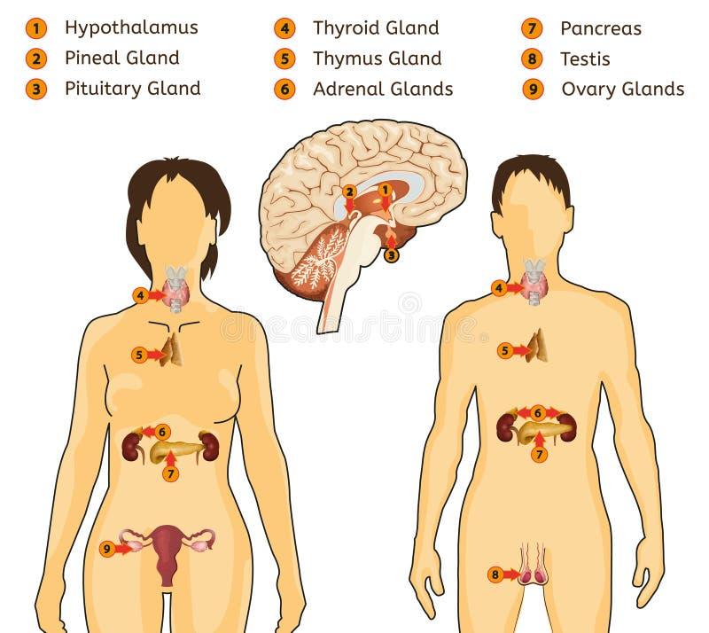 Image de système endocrinien illustration stock