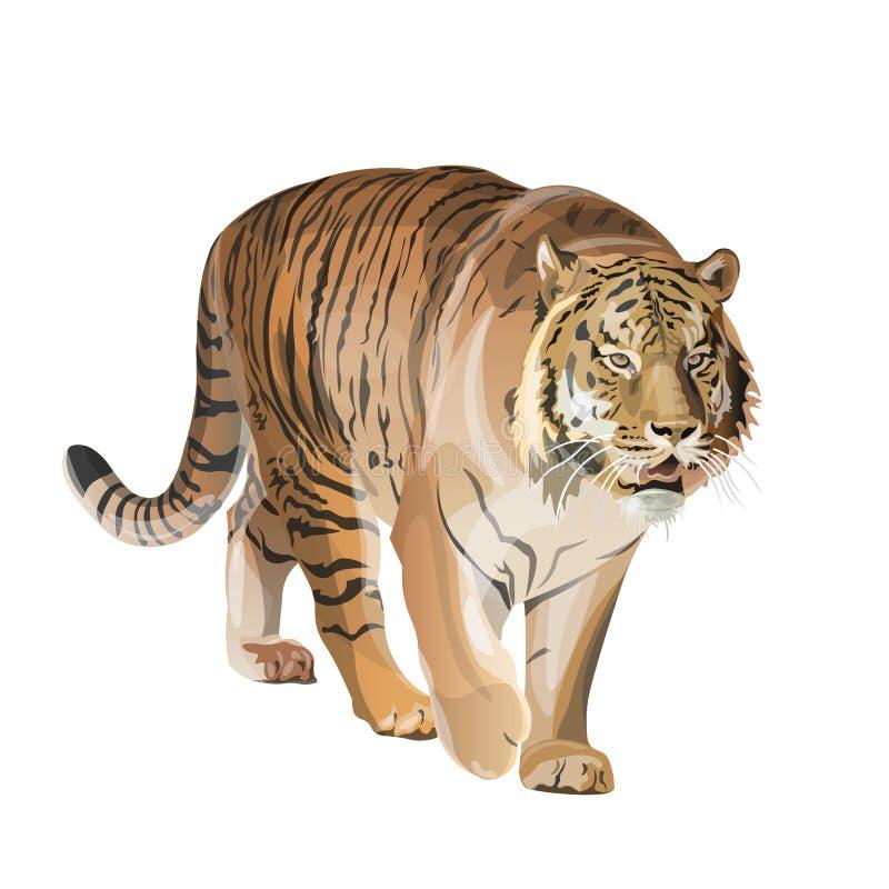 Image de tigre de marche photo stock