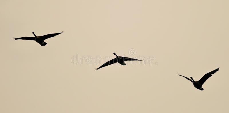 Image de trois oies de Canada volant dans le ciel images libres de droits