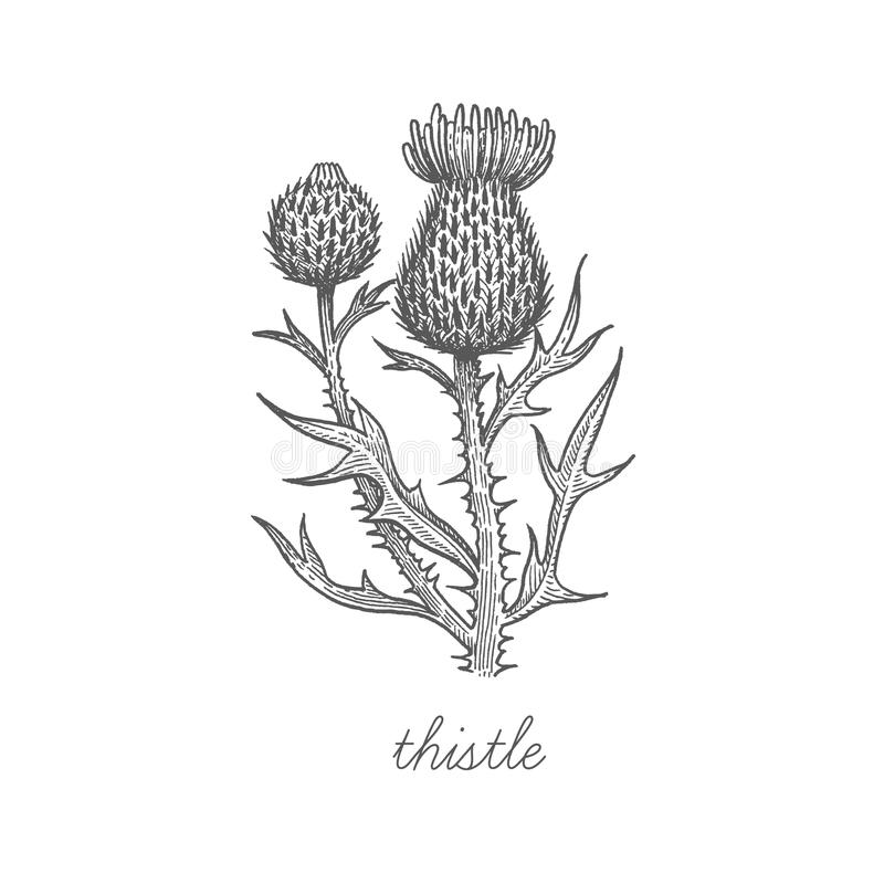 Download Image De Vecteur Des Plantes Médicinales Illustration de Vecteur - Illustration du noir, griffonnage: 77156756