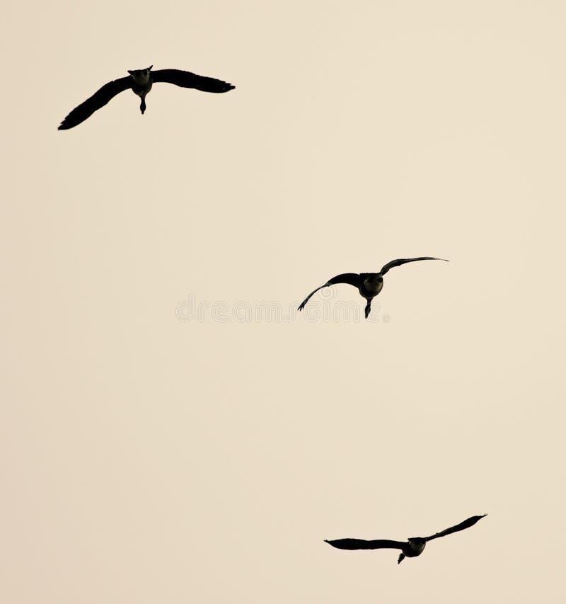 image de voler de trois oies de Canada photographie stock