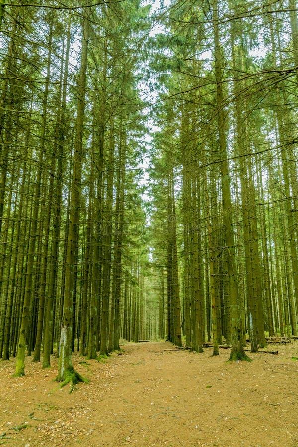 Image des arbres de domination dans la ligne dans une forêt luxuriante image libre de droits