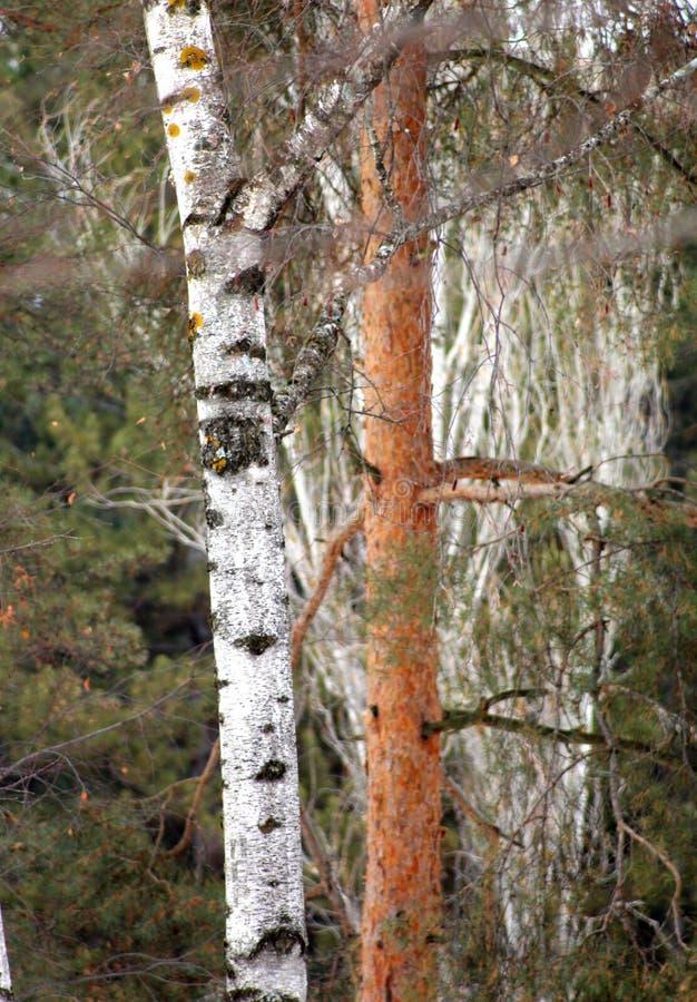 Image des troncs d'arbres d'un bouleau dans une forêt photographie stock