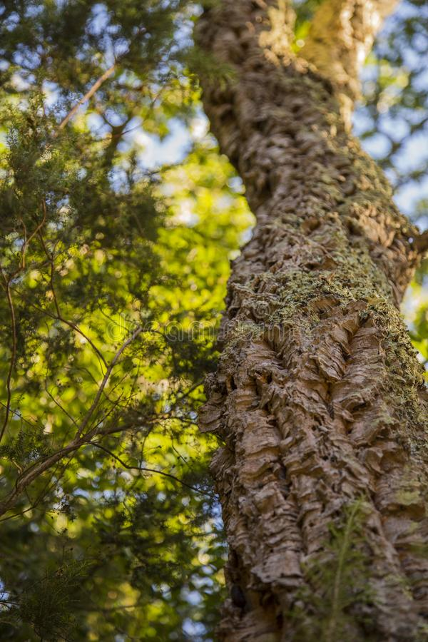 Image with detail of a cork tree. Whit background stock images