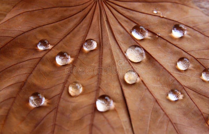 Image discrète de feuille sèche avec des gouttes de rosée sur le fond en bois Foyer sélectif photos stock