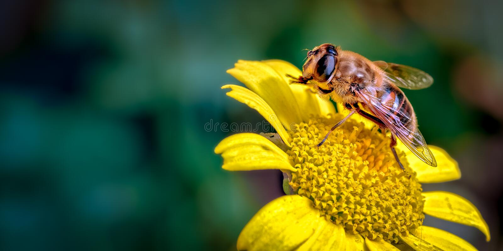 Drone-Fly, Eristalis tenax a bee mimic on Daisy Like Flower Cleaning its Front Legs stock photo