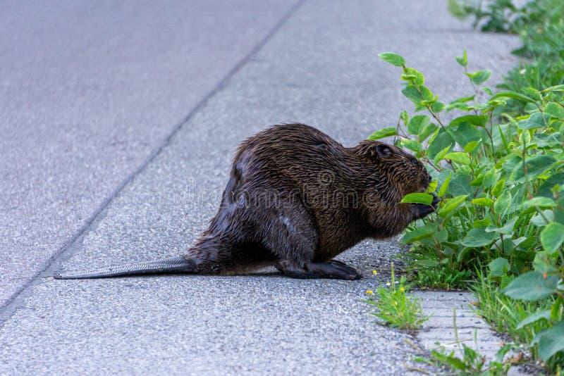 Image du castor du côté d'une rue mangeant le buisson image stock