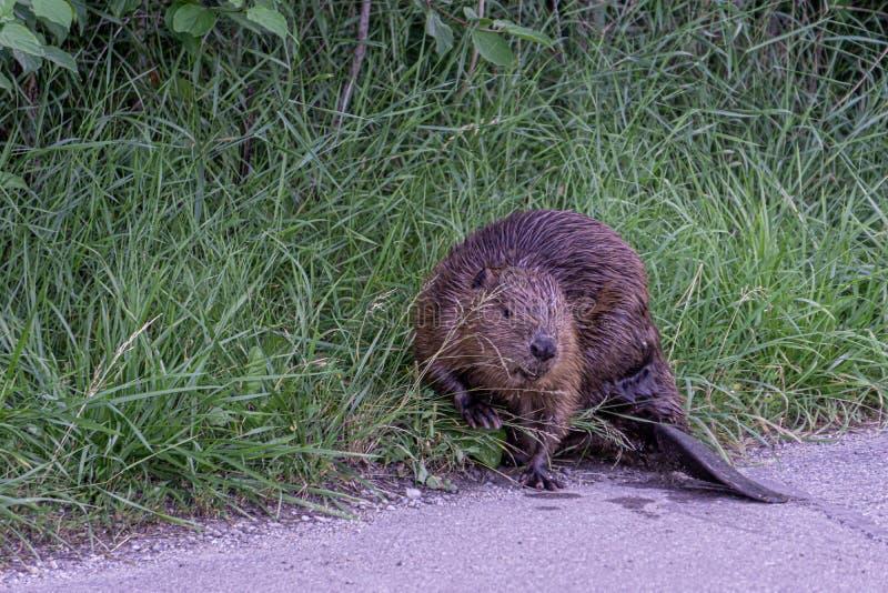 Image du castor du côté d'une rue mangeant le buisson images stock
