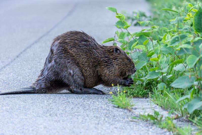 Image du castor du côté d'une rue mangeant le buisson images libres de droits