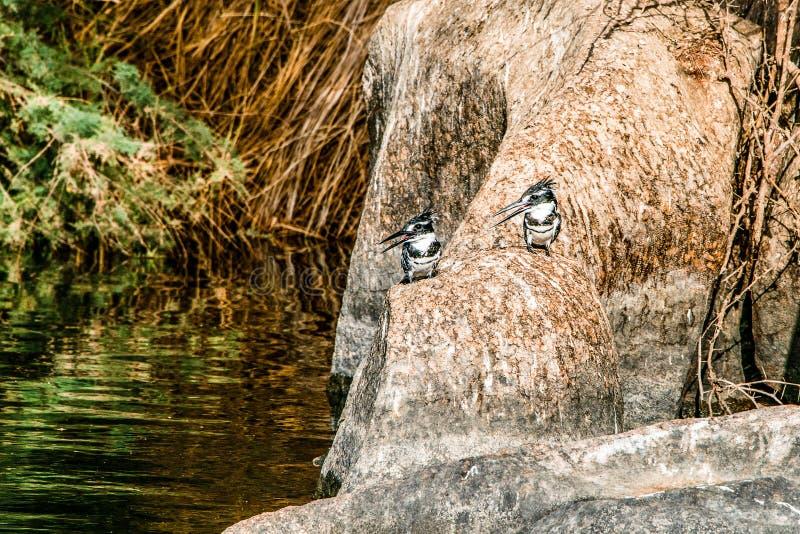 Image du Roi pie Fisher Bird se tenant calmement sur les banques du Nil ? Assouan Egypte photos libres de droits