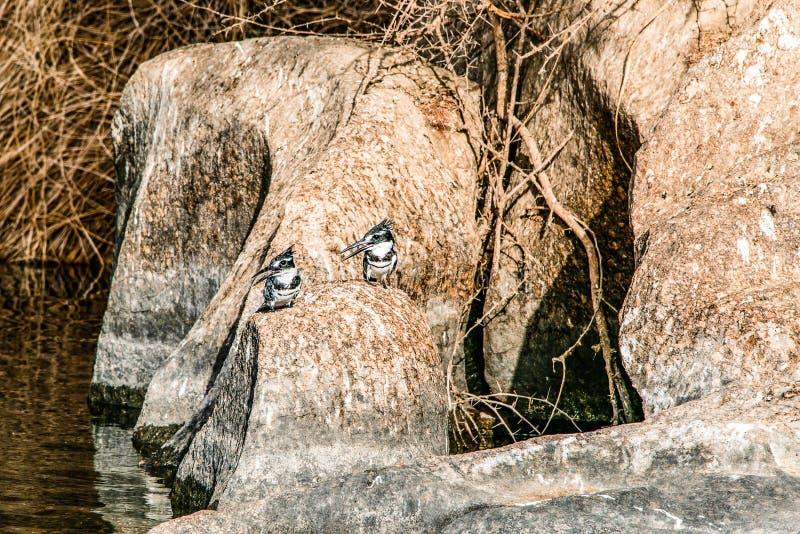Image du Roi pie Fisher Bird se tenant calmement sur les banques du Nil ? Assouan Egypte photo libre de droits