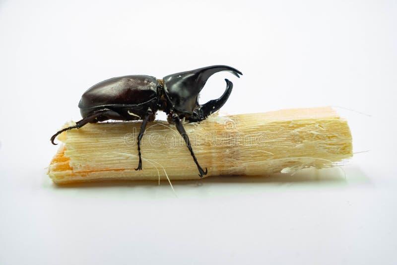Image of Dynastinae Rhinoceros Beetle, Horn Beetle, kabutomushi Hanging Eating Sugar Cane Isolate on white Background. Insect. Ani royalty free stock photography