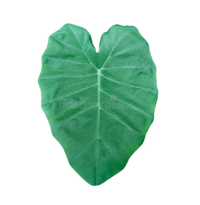 Image of Elephant ear leave isolated on white background without shadow. Beautiful tropical Taro plant leaf on white background. Image of Elephant ear leaf royalty free stock image