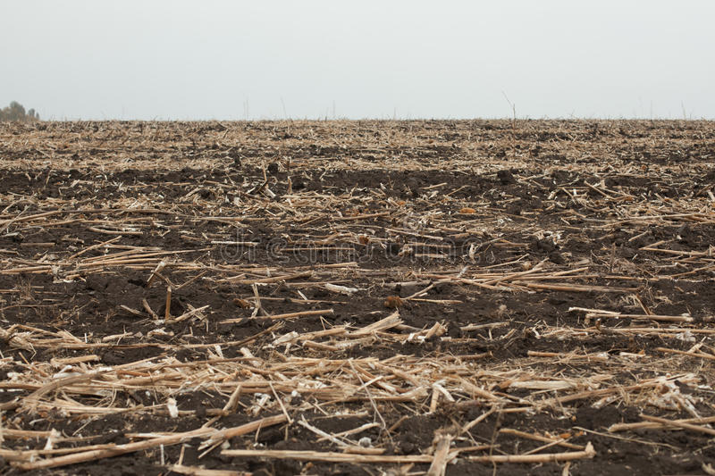 Image of End of the summer, dried corn after harvesting. royalty free stock images