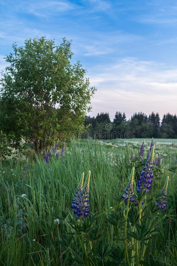 Evening meadow with lupins and willow royalty free stock photo