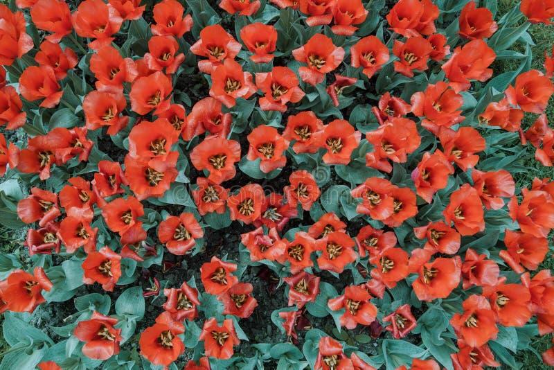 Image filtrée de backgoud présentant les fleurs rouges de tulipe prises d'en haut images stock