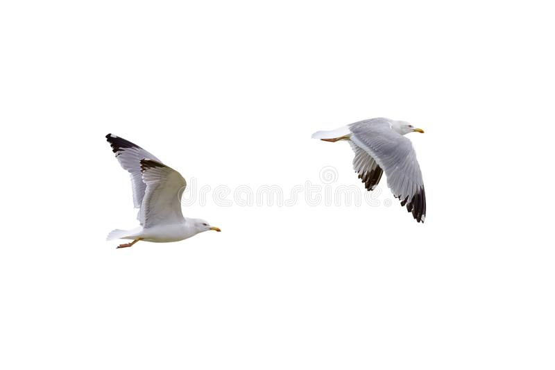 Flying seagull isolated on white background royalty free stock images