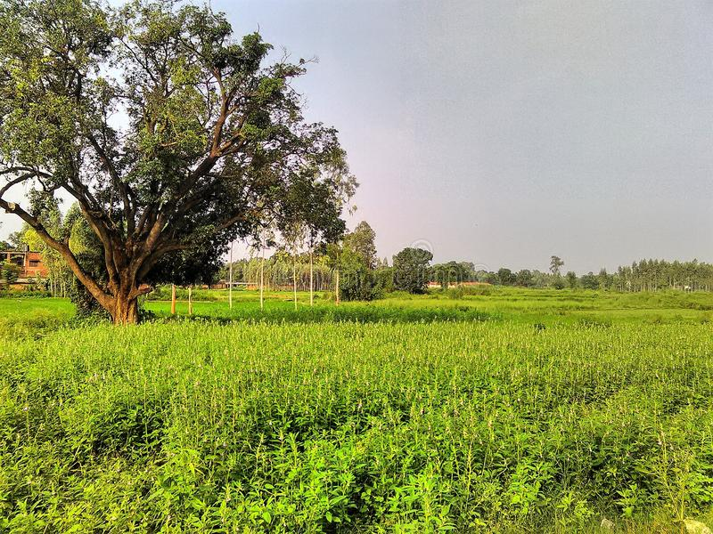 The tree beside the field . The image focuses on an old mango tree beside a crop field in the rural area stock photos