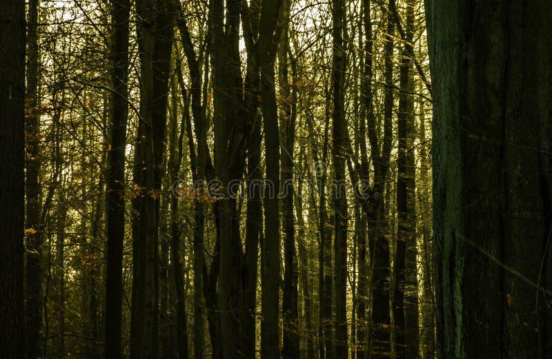 Image foncée et sombre abstraite d'une forêt dense avec les troncs d'arbre étroitement debout et le soleil à l'arrière-plan, vert photo stock