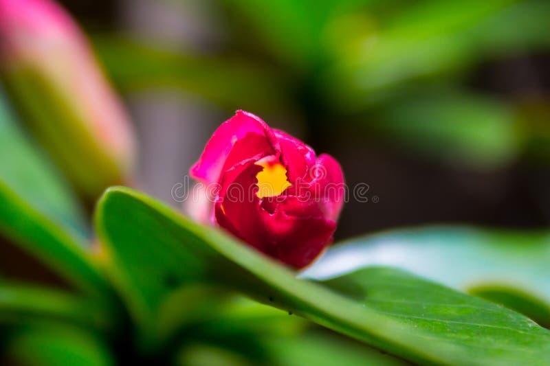 Beautiful Frangipani Flower Bud royalty free stock image