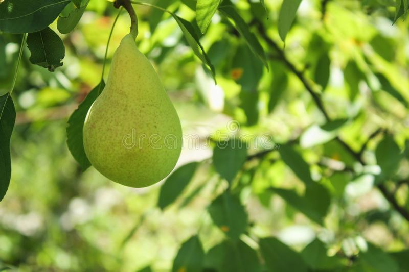 Image of fresh unripe pear on a tree in summer stock photos
