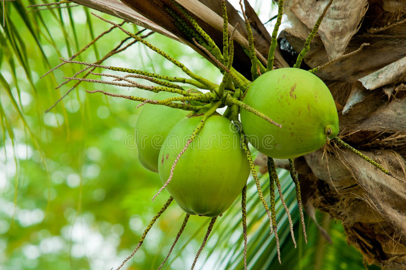 An image of fresh young coconut. Close up of fresh young coconut on tree royalty free stock images