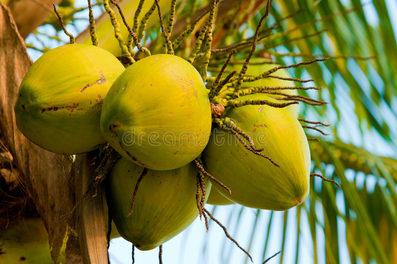 Image of fresh young coconut tree. Close up of fresh young coconut on tree royalty free stock photo