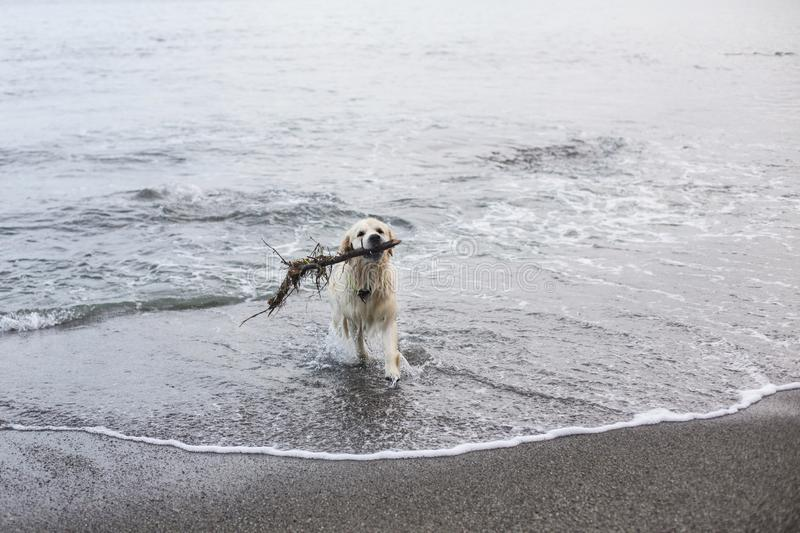 Image of a funny dog breed golden retriever has fun on the beach after swimming with the stick. Image of a funny, wet and happy dog breed golden retriever has stock photography