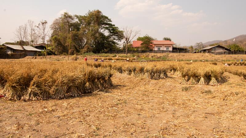 Image of Garlic farm in asia royalty free stock photo