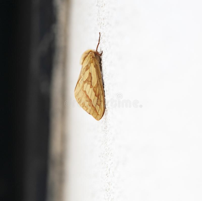 Ghost Moth. An image of the Ghost Moth, Hepialus humuli, also know as the Ghost Swift, at rest on a white wall during the day. Lancashire, England royalty free stock photo